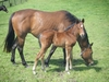 Shocking x Utmost Caution filly (13 days)