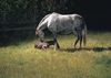 Champion Race Mare Horlicks and Foal
