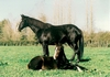 Champion Broodmare Eight Carat and Foal