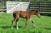 Tavistock - Zendaya bay filly - born 27 July 15 (16 days old)