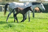 Fastnet Rock - Katie Lee bay/grey filly, born 19 August 2015 (2 days old)