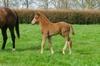 Cape Blanco - Far Far Away chestnut colt, born 31 August (9 days old)