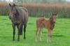 Tavistock - Satisfact bay filly, born 25 August (15 days old)