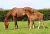 Alamosa/Rose and Crown filly 15/9/2017