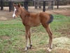 Flying Artie/Colorado Miss filly 20/8/2018 (at Amarina Farm, NSW)